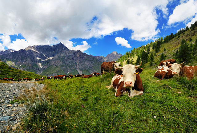 cows grazing Aosta Valley (Valle d'Aosta)