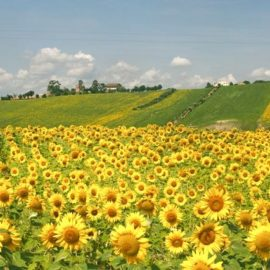 fields of sunflowers in Le Marche region