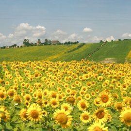 fields of sunflowers in Le Marche region