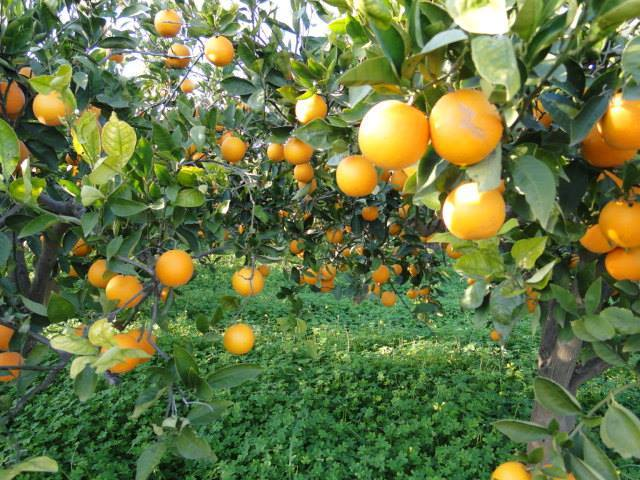 orange groves in Sicily